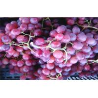 Thin Skin Concord Black / Red Globe Grapes 26 - 28mm Rich Vitamins, The average single-grain weight 10 grams