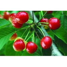 China fruit powder fruit juice powder China supplier-Natural Herb Cherry Powder wholesale