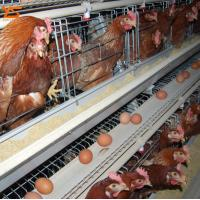 China Used Poultry Battery Cages for Sale Poultry Equipment Price WhatsApp:+8615638238763 wholesale