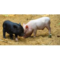 China Animal Feeding Ingredient Natural Zeolite For Pigs and Cattle Feeding wholesale
