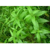 China Herbs Sting Nettle Root Extract Supplement For Hair Loss / Big Man Male Enhancement 145414-76-2 wholesale