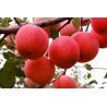 China High quality Apple Cider Vinegar Powder (GMP manufacturer)/High Quality Apple Fruit Juice Powder wholesale