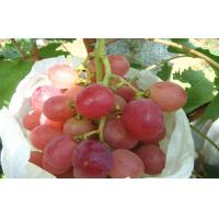 China Organic Sweet White / Green Thompson Seedless Grapes No Insect Containing High Sugar wholesale