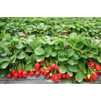 Buy cheap high quality spray dried strawberry powder/For beverage strawberry fruit powder from wholesalers