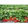 China high quality spray dried strawberry powder/For beverage strawberry fruit powder wholesale