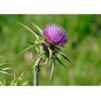 China Natural 80% Silymarin Milk Thistle Extract Used to detoxify and reduce the blood fat wholesale