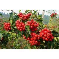 Buy cheap Chinese new harvest Hawthorn Fruit Extract, 5% Flavones/ Hawthorne Berry Extract from wholesalers
