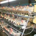 layer cages for chickens south africa