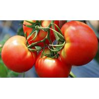 China Lycopene 5%, 6%, 10% Tomato Extract on sale