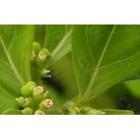 Buy cheap Garden Euphorbia Herb Extract product
