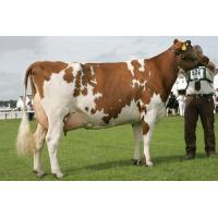 China Dairy Cow-Holstein wholesale
