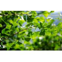 China Ginkgo product Gingko leaves wholesale