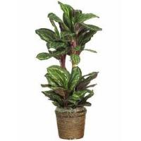 "China 45"" Maranta Silk Plant wholesale"