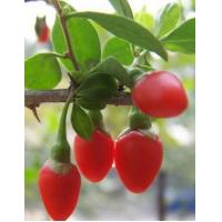 China English  Wolfberry fruit Extract on sale