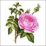 Buy cheap Rose Oil (Rose Damascena) from wholesalers