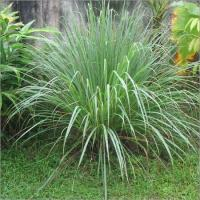 Buy cheap Lemongrass Essential Oil from wholesalers