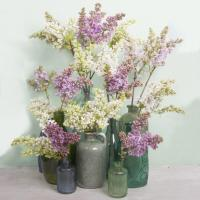 Buy cheap Syringa from wholesalers